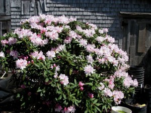 a reputedly very difficult rhodo to bloom