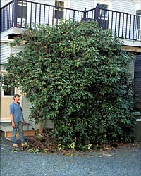 The rhododendron in its original location. Unfortunately it had outgrown its home - note the entrance way to the door pruned into the left-hand side.